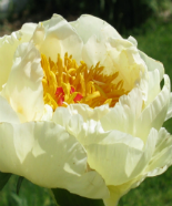 PEONIES LEMON CHIFFON , plants for sales, Peony Farm, WA