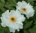Tree Peony Phoenix White  Tree Peonies for sale at Peony Farm
