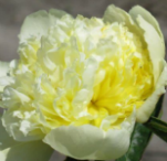 GOLDILOCKS PEONIES at Peony Farm