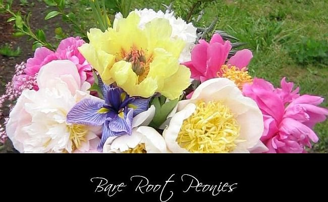 peonies, peonies, bare root peonies Order Now for Fall Shipment