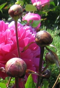 Peonies Bud cutting stage
