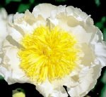 PEONIES CHEDDAR CHARM plants for sales