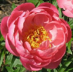 PEONY  CORAL CHARM plants for sales