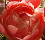 PEONY  CORAL SUNSET plants for sales, Washington
