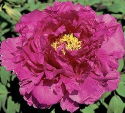 ROYAL ROBE TREE PEONY, PEONY FARM