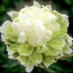 PEONIES GREEN HALO  plants for sales Peony Farm WA