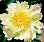 PEONIES GREEN LOTUS white with lime green streaking  plants for sales Peony Farm WA