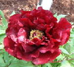 Tree Peony Hephestos Peony Farm Washington for your peony garden