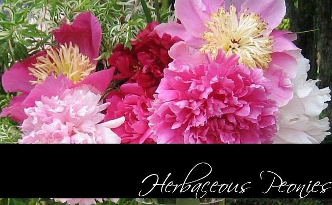 peonies, peonies for sale, HERBACEOUS PEONIES at PEONY FARM, WA