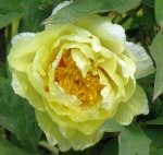 TREE PEONY HIGH NOON tree peonies at PEONY FARM, WA