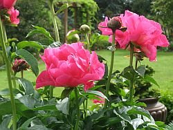 peonies for sale, Paula Fay Peonies growing at the Peony Farm garden