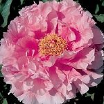 Tree Peony BROCADED GOWN for your peony garden at Peony Farm Washington