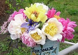 Peonies Arrangement of Bartzella Itoh and other while peonies in a Watering Can ,yellows, whites, pinks, cut peonies, floral arrangement, Peony Farm, WA